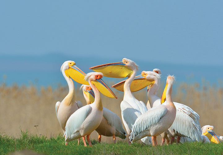 Pelicans on the Danube Delta
