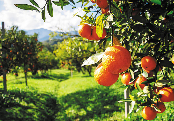 Valencia orange grove