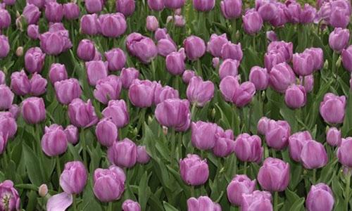Tulips in Sigurtà Garden Park