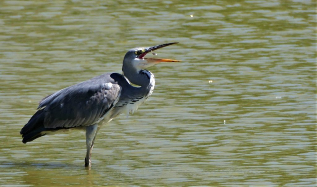 Great Blue Heron in Andalusia