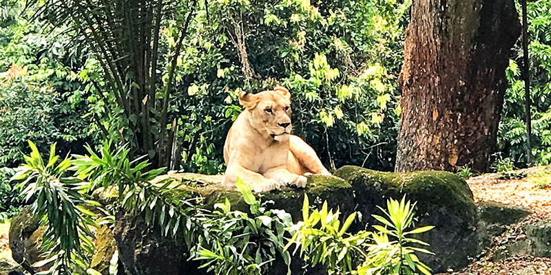 Lion in southeast asia