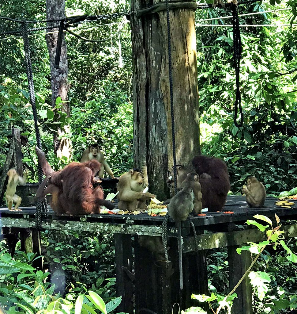Monkeys at the Sepilok Orangutan Rehabilitation Centre, Borneo