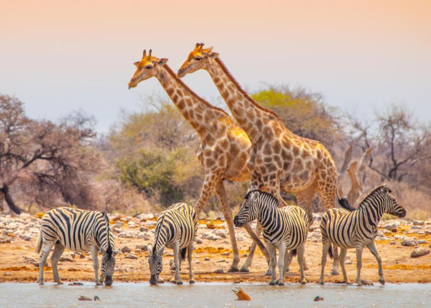 best safari in africa giraffes and zebras etosha national park