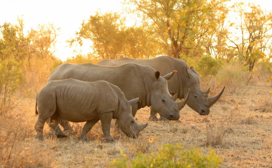 best safari in africa rhino kruger national park south africa