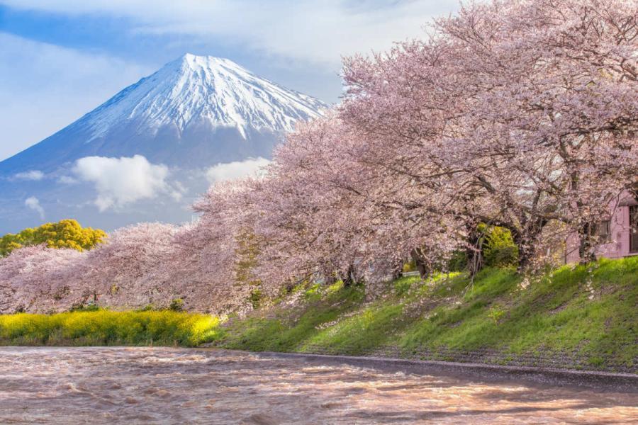 visit japan mount fuji and sakura cherry blossom