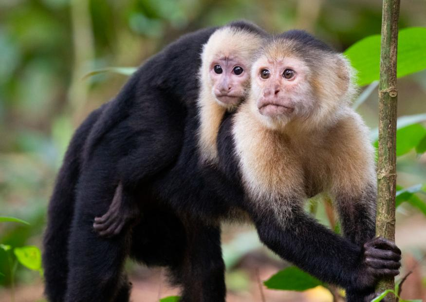 costa rica tours White Faced Capuchin Monkeys Tortuguero National Park