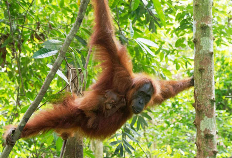 wildlife travel orangutan borneo