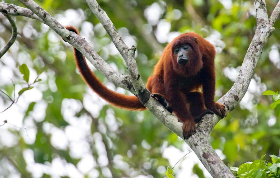 wildlife travel red howler monkey peru