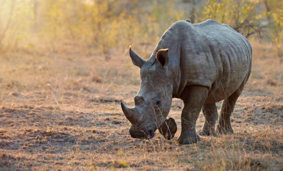 wildlife travel rhimoceros botswana