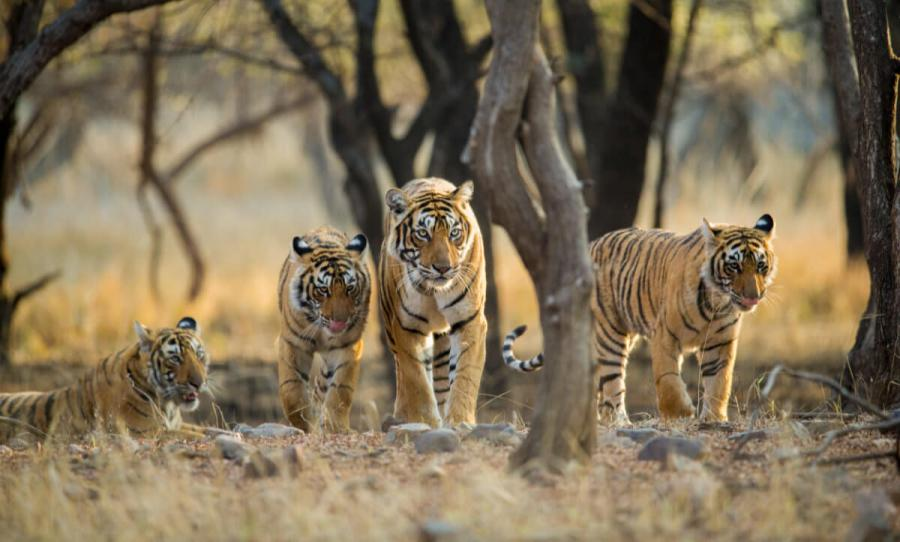 wildlife travel tigars india