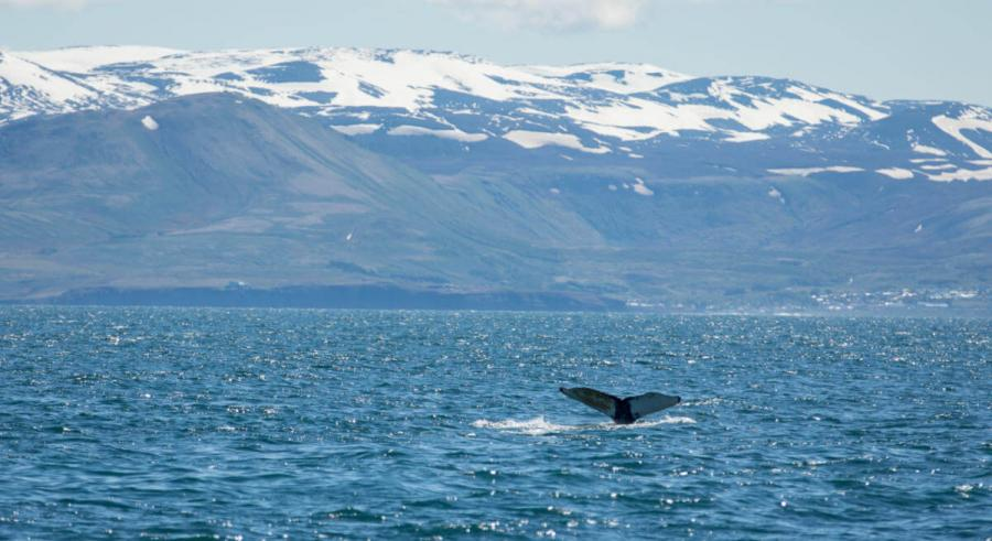 wildlife travel whale watching iceland