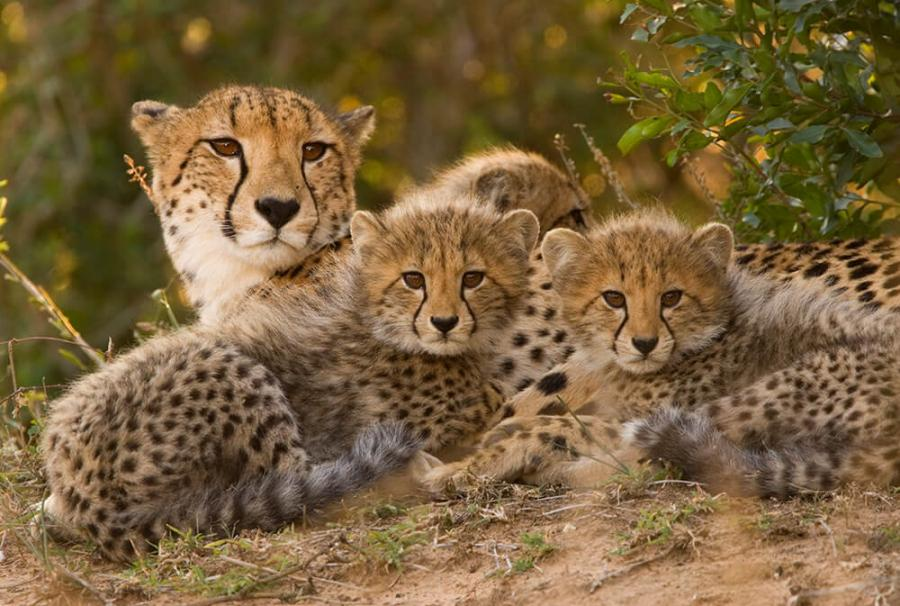 ultimate over 55 must visit list cheetahs on safari