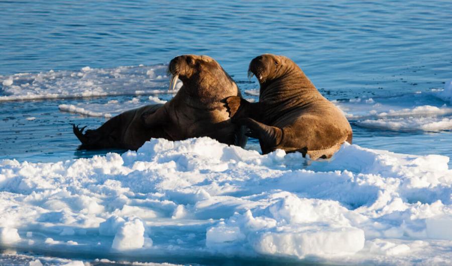 arctic cruise two walrus