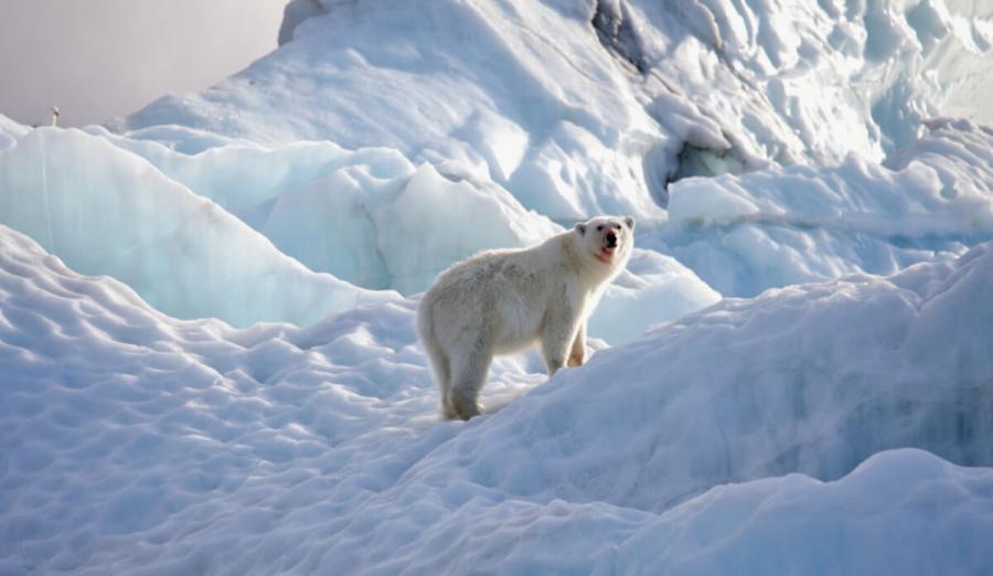 arctic cruise polar bear