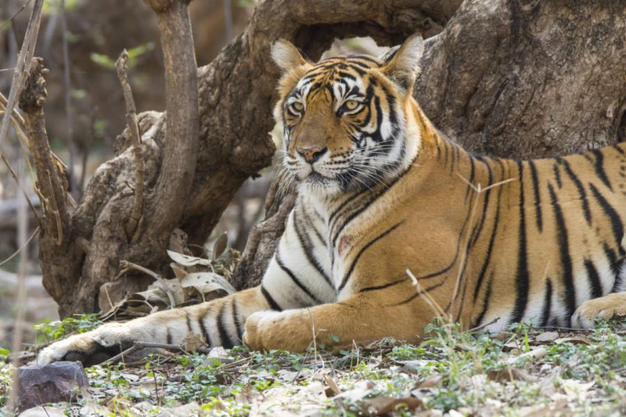 Golden Triangle Tours India | Bengal Tigers Ranthambore National Park