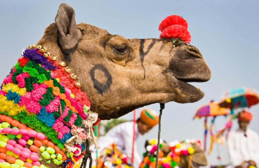 things to do in india decorated camels at pushkar camel fair