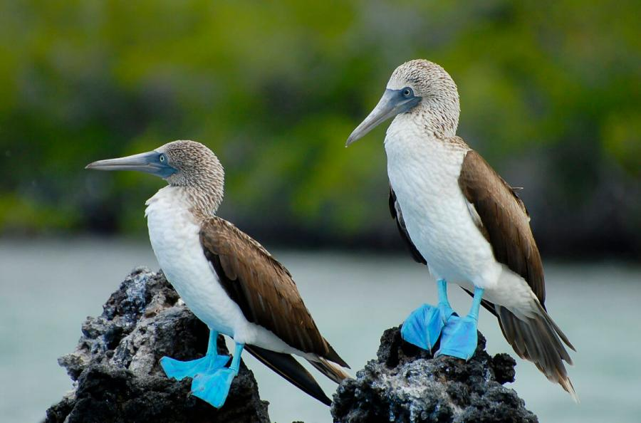 galapagos island holidays blue footed booby