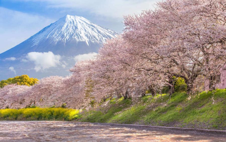 japan tours mount fuji and sakura cherry blossom