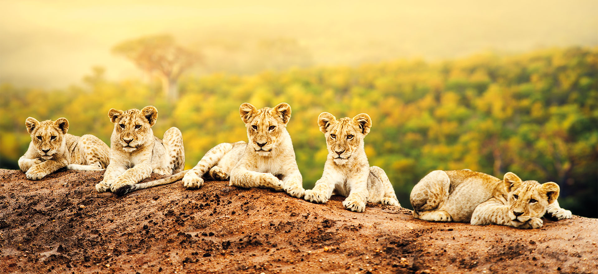Lion cubs | Tours to Canada | Riviera Travel