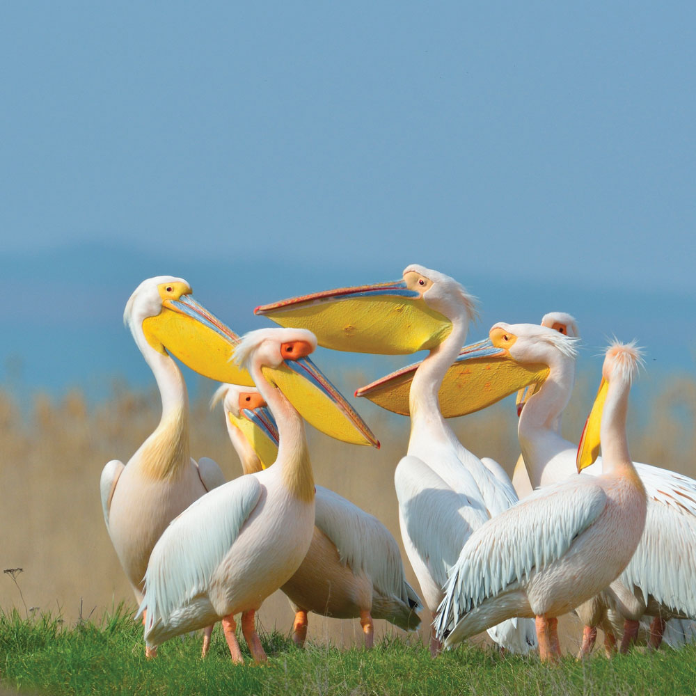 Pelicans by the Danube Delta