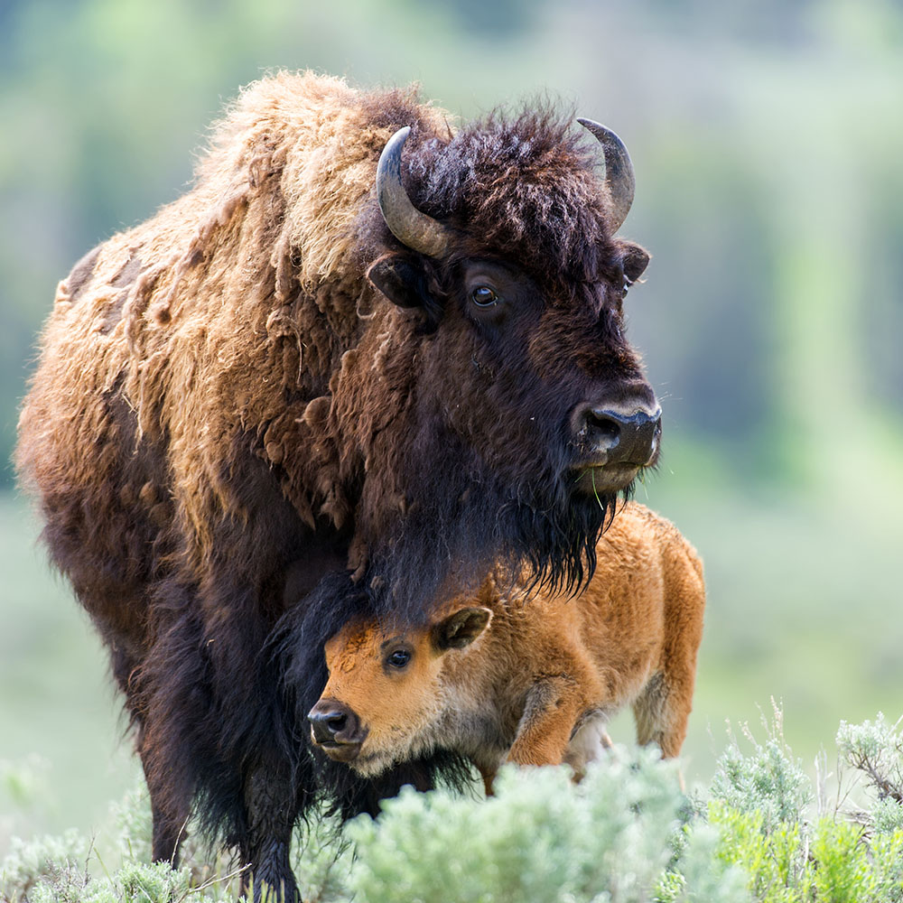 Bison at Custer State Bark